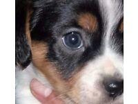 Miniature Cav-A Jack, Jack Russel X Cavalier King Charles Pups