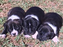 Purebred English Staffordshire Bull Terrier Puppies Calala Tamworth Surrounds Preview