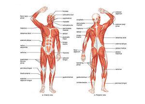 A4 poster mise en page de muscles du corps humain photo anatomie sante
