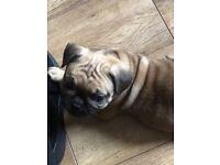 French bulldog/pug = Frug
