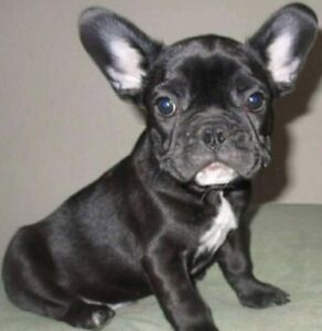 Looking for a French bulldog puppy