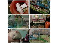 Sandy hamster for sale