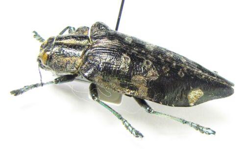 Buprestidae, Polybothris sp., Madagascar
