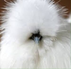 Looking for a Silkie hen