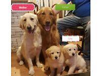Beautiful Golden Retriever Puppies - 2 girls remaining