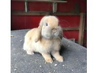 Lop eared rabbit - free to a good home