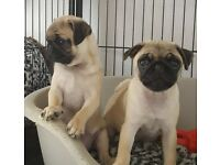 Pug Puppies KC Registered