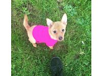 7 month old chihuahua cross pomeranian REDUCED!!
