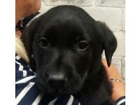 LABRADOR SOLID BLACK PUPPIES - KC REGISTERED - FULLY HEALTH TESTED PARENTS