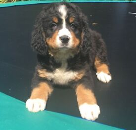 Beautiful Bernese Mountain Dog puppies looking for love