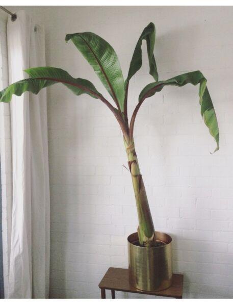 Banana Tree Indoor Plant | Plants | Gumtree Australia Port Phillip ...