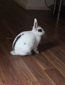 White Dwarf Rabbit with Large Cage and Accessories