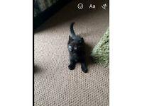 Male black kitten