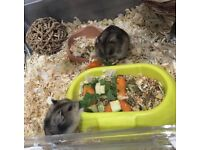 One Chestnut Roborovski Dwarf Hamster and Cage for sale