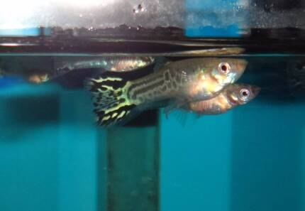 20 Young Guppies for sale @ $1.50 each Burpengary Caboolture Area Preview