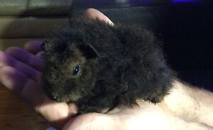 Alpaca Female 5 weeks old Guinea pig Caboolture South Caboolture Area Preview