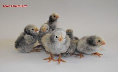 6 Silver Lace English Orpington Hatching Eggs Fertile Live Chicken Incubator