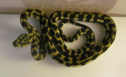 5 Pure Yearling Palmerston Black and High Yellow Jungle Pythons Gympie Gympie Area Preview