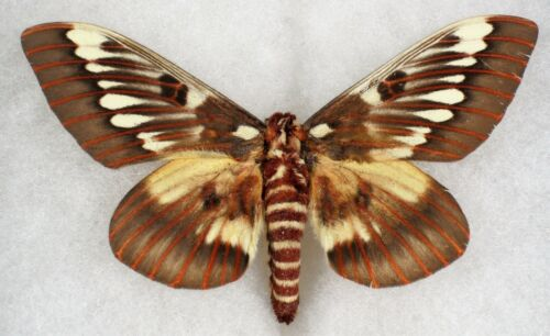 """Insect/Moth/ Citheroniinae splendens - Male 4"""""""