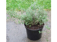 THYME HERB in 1.5Lt pots at £1.50 each Plant including Pot – 27cm - 11 in Tall – 17cm - 7 in Wide
