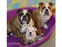 English bulldog puppy male. Fully kc registered