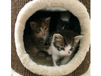 Three very playful kittens for sale.