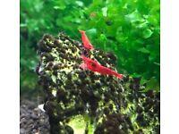Bloody Mary Shrimps, HIGH GRADE