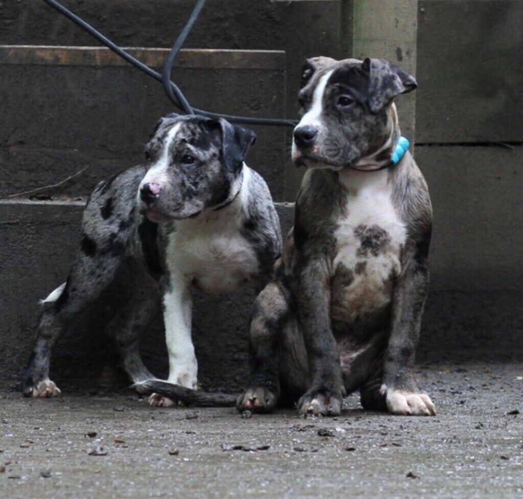Xl bully pups for sale | in Coventry, West Midlands | Gumtree