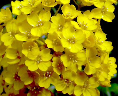 500 Basket Of Gold Alyssum Golden Tuft Seeds Aurinia Saxatilis   Gift   Comb S H
