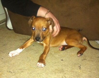 Male American staffy puppie for sale Cooroy Noosa Area Preview