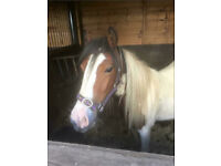 Red and white gelding