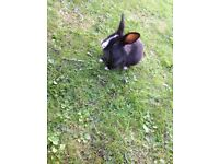 8 week old baby rabbits for sale
