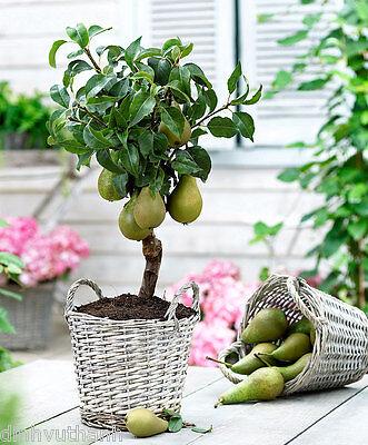 Dwarf Pear Tree Seeds   50 Seeds