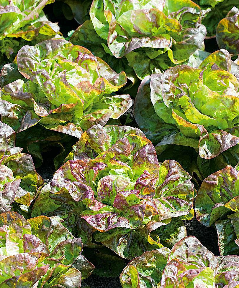 Lettuce Brune D'Hiver - 25+ seeds - HEIRLOOM from FRANCE!
