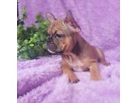 French bulldog puppy blue fawn boy, ready to go