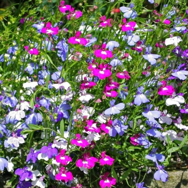 Tray Of 24 Trailing Fountain Mix Lobelia Bedding Plants Hurley