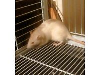 2 Rats Free to a New Home (with or without cage)