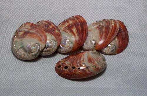 "Red Abalone Seashell Beach Decor Nautical Shell Decor Size 3"""