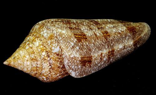 FS Conus (Cylinder) gloriamaris 127.8 mm