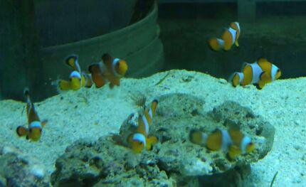 Sm/med Ocellaris Clownfish  Kelmscott Armadale Area Preview