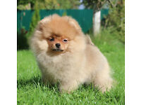 Two Stunning Pomeranian Puppies Available