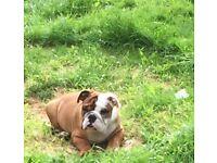 Stunning pure bred enhlish buldog pup