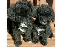 Poochon puppys