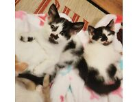 Two adorable family kittens £160 for both