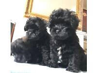 LHASAPOO PUPPIES VS TOY POODLE KC reg PRA clear