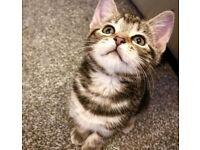 Main coon Bengal kittens