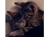 2 x kittens for sale 11 weeks old