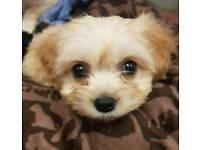 Cavachon pups