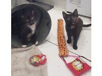 Lovely playful black white kittens. 1 Girl 1 boy