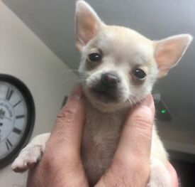 Chihuahua male cream smoothcoat pup